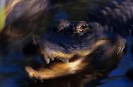Vereinigte Staaten von Amerika, USA, Florida: amerikanischer Mississippi-Alligator (Alligator mississippiensis) beim Angriff. | United States of America, USA, Florida: American Alligator, Alligator mississippiensis, attacking, in movement. |