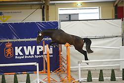 097 - Glamour<br /> Vrijspringen 3 jarige Merries<br /> KWPN Paardendagen - Ermelo 2014<br /> © Dirk Caremans