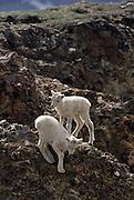 Dall Sheep, Sheep, lamb, lambs, flock, Denali National Park, Alaska