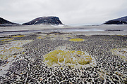 Fragile arctic vegetation on the beach of Phippsøya, part of the Seven Island north of Nordaustlandet, Svalbard.