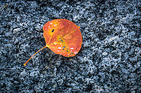 A brightly colored Fall aspen leaf covered in water drops lies gently on a hard slab of granite in Utah's Little Cottonwood Canyon.