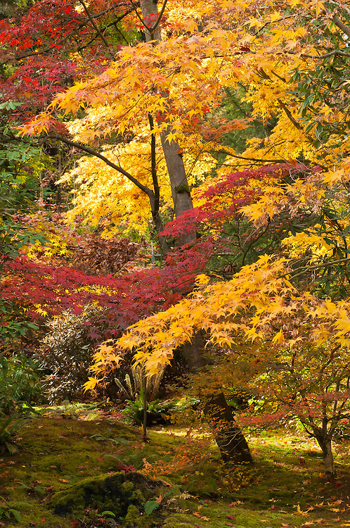 Maples tree with fall color in the Japanese Garden at Washington Park Arboretum in Seattle, Washington.