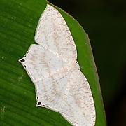 Acropteris sp. moth of the Uraniidae family.