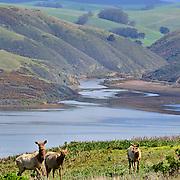 Tule Elk, Point Reyes National Seashore, California