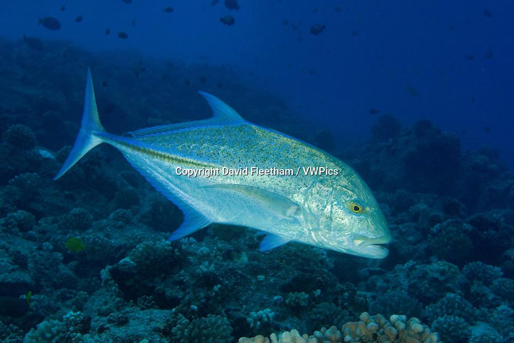 Bluefin trevally or jack, Caranx melampygus.  Hawaii.
