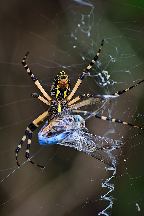 A close-up of a large female yellow garden spider (Argiope aurantia) in her web wrapping a recently caught blue dasher (Pachydiplax longipennis) dragonfly, Back Bay National Wildlife Refuge, Virginia Beach, VA