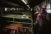 Pigs/Swine/Hog: Vaccinating a newborn pig at the Mitri Hog Ranch. USA.