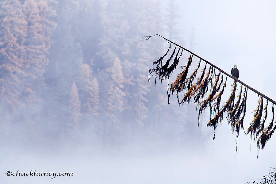 Mature bald eagle on tamarack branch on a foggy autumn morning on Lake Alva in the Lolo National Forest, Montana, USA