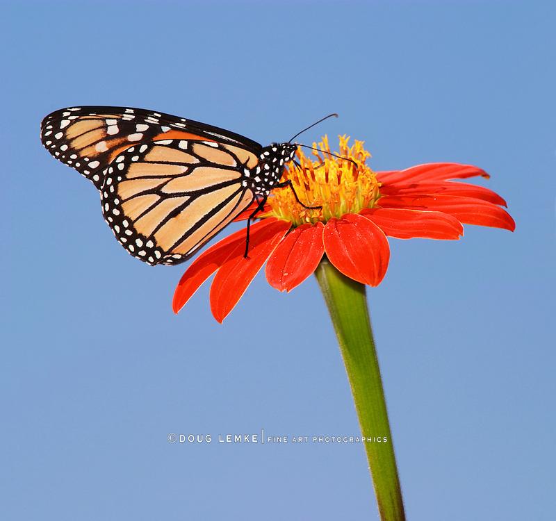 A Monarch Butterfly On A Red Flower Against A Blue Sky, Danaus plexippus
