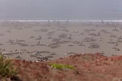 USA ALASKA ST PAUL ISLAND 8JUL12 - Northern Fur Seals breed on the beach of the Lagoon on the island of St. Paul in the Bering Sea, Alaska.....Photo by Jiri Rezac / Greenpeace....© Jiri Rezac / Greenpeace