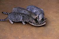 Inde - Rajasthan - region du Shekawati - repas des chats