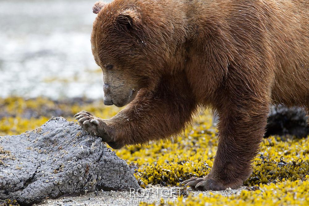 Portrait of a juvenile brown bear, Kukak Bay, Alaska