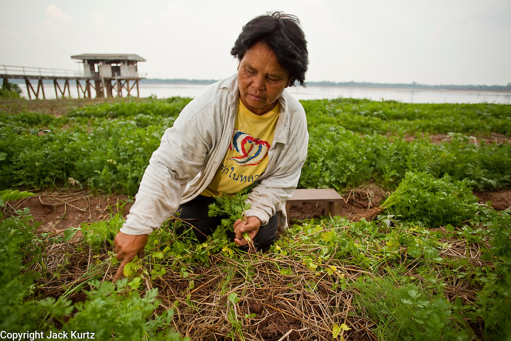 "07 APRIL 2010 - LAO NOI, NAKHON PHANOM, THAILAND: PRIK, harvests celery and dill from her garden near the Mekong River, which is behind her. She said her yield this year will be a fraction of what was last year and that some days her husband comes home with no fish. She grows vegetables and her husband fishes. Normally the river flows completely through the river bed but it's currently running through a channel in the bottom of the river bed. According to people who live here, the river is at its lowest point in nearly 50 years. Prik said she doesn't know why the river is so low ""Some say China has built dams that stops the water. Others say it is less rain. I don't know, I just know that when it floods it is much worse and much faster now - sometimes the river rises three meters in one day - and when it is dry, it is very, very dry."" Many of the people who live along the river farm and fish. They claim their crops yields are greatly reduced and that many days they return from fishing with empty nets. The river is so shallow now that fisherman who used to go out in boats now work from the banks and sandbars on foot or wade into the river.     PHOTO BY JACK KURTZ"