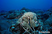 coral grows over anchor line that broke off on reef, Flower Garden Banks National Marine Sanctuary, off Texas, USA Gulf of Mexico