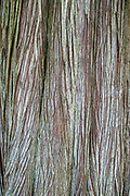 Close up detail of bark forming interesting patterns on the tree trunk of an ancient yew tree in Scotland