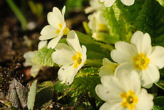 Stengelloze sleutelbloem, Primula vulgaris