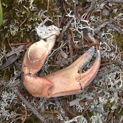 Crab claw, Nautilus Island, Castine, Maine, US