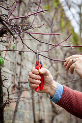 Pruning back side shoots on Vitis vinifera - grapevine - with secateurs