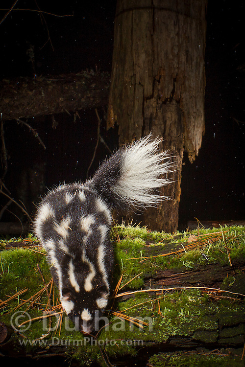 A western spotted skunk (Spilogale gracilis) photographed at night in the Umpqua National Forest, Oregon.