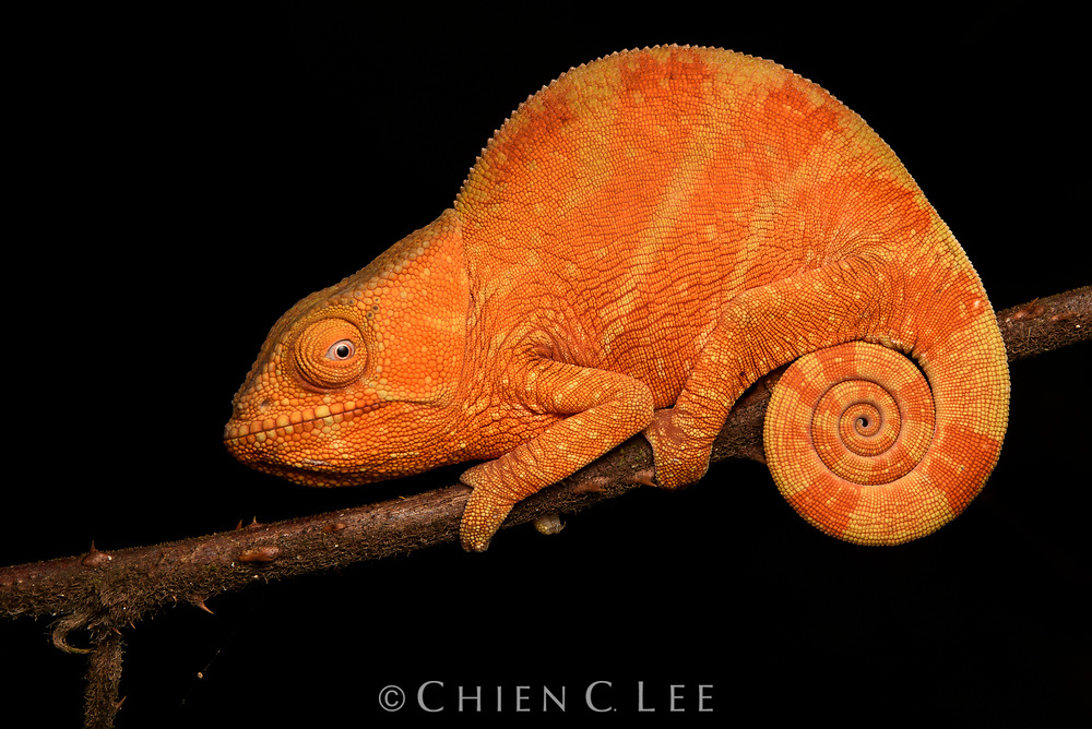 A juvenile Parson's Chameleon (Calumma parsoni). More frequently occurring in shades of green, this is one of the world's largest chameleons, with adult specimens sometimes reaching the size of a house cat. They are endemic to rainforest habitats on Madagascar and are threatened by both habitat loss and collection for the international pet trade.