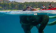Rajan – The Last Swimming Elephant in the Andaman Islands <br /> <br /> The legendary swimming elephant, Rajan whose several photos and videos have gone viral on social media and now passed away one Russian photographer Mike Korostelev, shares his images of the legendary elephant.<br /> <br /> Photographer Mike recalls the day he shot these amazing images of Rajan,<br /> <br /> Did it have any difficulty swimming?<br /> No. All elephants are very good swimmers because they are lighter than water. However, not all of them do it in the sea.<br /> It is very easy for him. His whole body is under water and sometimes he puts his trunk out of the water to breathe.<br /> <br /> -What was going through your mind when you were in the water with it? Were you scared?<br /> It was fantastic! I was swimming right next to it and under it between its massive legs without ceasing to click the button on the camera. It was incredible.<br /> <br /> -Did the elephant know you were there? Did it mind? Did it react?<br /> Its eyes were underwater.  It looked around, but did not pay any attention to me.<br /> <br /> -How did the elephant behave in the water? What did it do?<br /> It swam slowly all the time and didn't want to return to the beach.<br /> <br /> -How long did the elephant stay in the water for? How did it get out? What did it do afterwards?<br /> About 40-45 minutes. After that the owner came to Rajan in a canoe and said to him that it was time to go back.<br /> After the dive we fed him bananas and he went home to rest.<br /> The owner said that Rajan is not young now and he can swim maximum 1 time in a week.<br /> ©Mike Korostelev/Exclusivepix Media