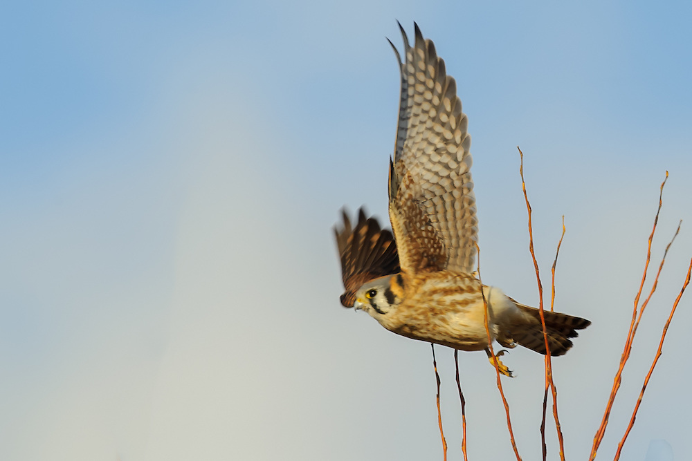 American Kestrel - Falco sparverius starting to fly from a tree