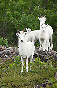 Dall Sheep (Orvis dalli) band of ewes and lambs in summer in the mountains along Turnagain Arm, Chugach State Park.