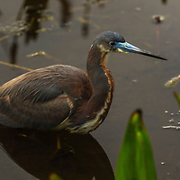 South Florida bird photography from nature photographer Juergen Roth showing a Tricolored Heron at Wakodahatchee Wetlands in Boynton Beach, FL. Wakodahatchee Wetlands and Green Cay are amazing places on earth for wildlife viewing and photography in Florida. Upon arrival, there were at least 30 nesting everglades storks in side and while making my rounds on the boardwalk I encountered this Tricolored Heron. <br />