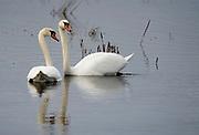 Pair of Mute Swans (Cygnus olor) from Lake Hornborga, Sweden.