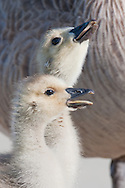 Two canada goose siblings take turns drinking from a puddle.  A watchful parent stands guard in the background.