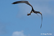 great frigate bird or frigatebird, Fregata minor, or iwa in Hawaiian, carries off a sooty tern chick, Onychoprion fuscata or Sterna fuscata, Tern Island, French Frigate Shoals, Papahanaumokuakea Marine National Monument, Northwest Hawaiian Islands ( Central Pacific Ocean )