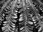 Maidenhair Fern (Adiantum pedatum)fronds in monochrome black and white high contrast