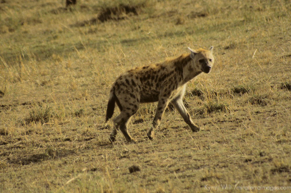 Africa, Kenya, Maasai Mara. Spotted Hyena of the Mara.