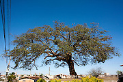 Araxa_MG, Brasil...A lendaria Arvore dos Enforcados em Araxa, Minas Gerais...The Tree of the Hanged in Araxa, Minas Gerais...Foto: LEO DRUMOND / NITRO