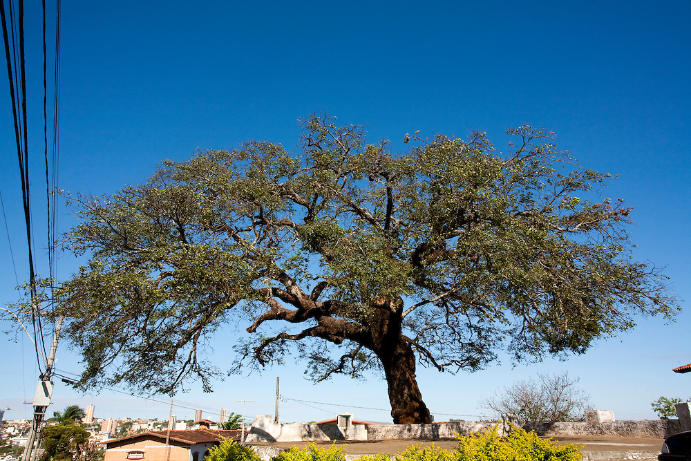 Araxa_MG, Brasil...A lendaria Arvore dos Enforcados em Araxa, Minas Gerais...The Tree of the Hanged in Araxa, Minas Gerais...Foto: LEO DRUMOND / NITRO