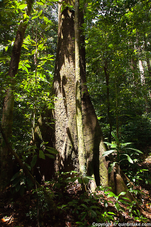 Dipterocarp Tree Buttress roots in Peradayan Forest Reserve, Brunei