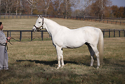 Tapit son of Pulpit and Tap Your Heels photographed in his paddock held by his groom Pedro, Wednesday, Nov. 16, 2016 at Gainesway Farm in Lexington.