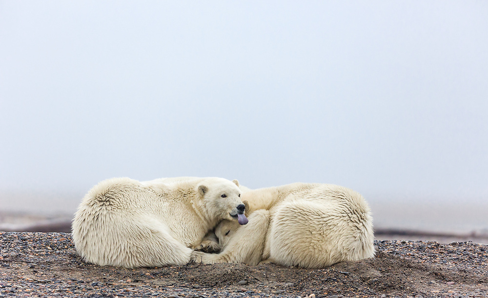 Mother polar bear (Ursus maritimus) and cubs resting on Barter Island near Kaktovik in the Arctic National Wildlife Refuge in the Far North of Alaska. Autumn. Morning.