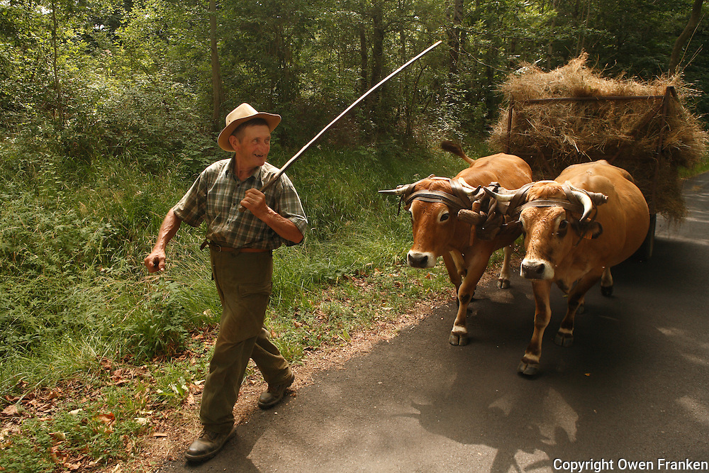man and his Oxen in Auvergne, the Massif Central of France<br /> <br /> <br /> <br /> <br /> <br /> <br /> <br /> <br /> <br /> model released