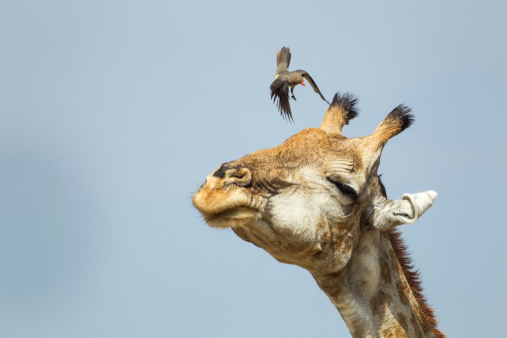 Africa, Botswana, Moremi Game Reserve, Giraffe (Giraffa camelopardalis) shakes head to frighten annoying Red-Billed Oxpecker  (Buphagus erythrorhynchus) bird