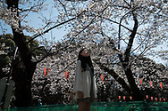 A woman looks at the cherry blossoms in full bloom at the Ueno park in Tokyo on April 3rd. The cherry blossom season in Japan kicks off boozy parties across the country and draws tourists from far and wide. 03/04/2017-Tokyo, JAPAN