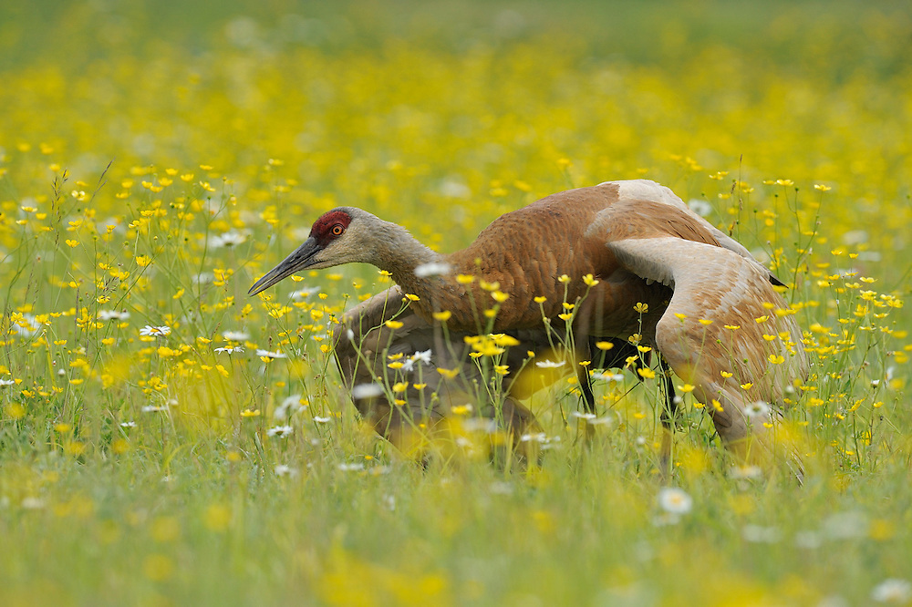 Sandhill crane in protective display behaviour in Northern Ontario, Canada.