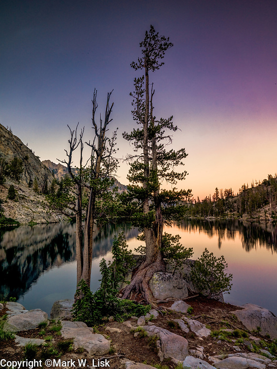 Limber pines towers above one of the  Alpine Creek Lakes in Idaho's Sawtooth Wildrness.
