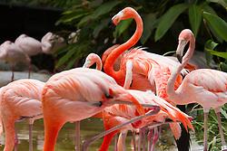 Caribbean flamingos (Phoenicopterus ruber ruber) San Diego Zoo, San Diego, California, United States of America