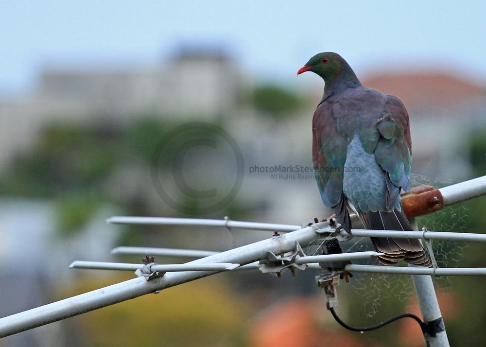 Native NZ wood pigeon St Clair, Dunedin ,NZ