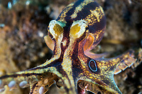 Poison Ocellate Octopus reaches for the camera<br /> <br /> Shot in Indonesia