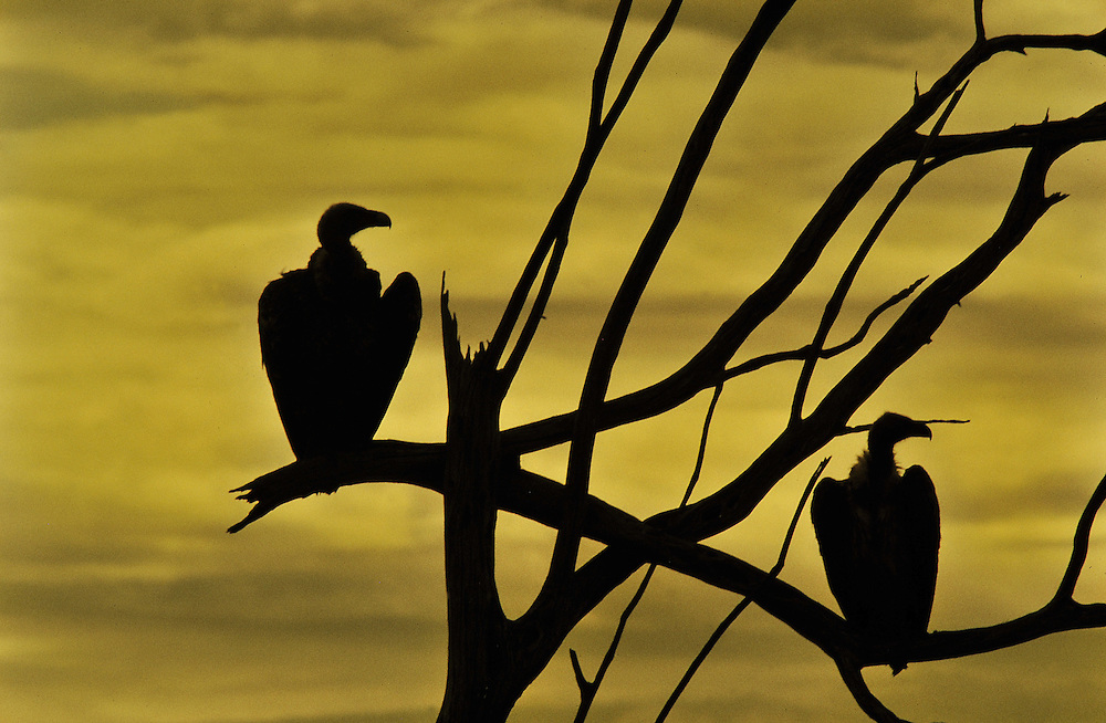 Two vultures warming in dawn sunlight. Masai mara, Kenya