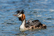 Australasian Crested Grebe displaying its spiky crest, at Lake Wanaka, New Zealand
