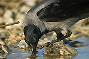 Israel, Coastal Plains, Hooded Crow (Corvus corone cornix) drinking from a water pond
