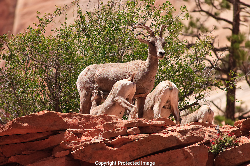 Desert Bighorn kid nurses from his mother